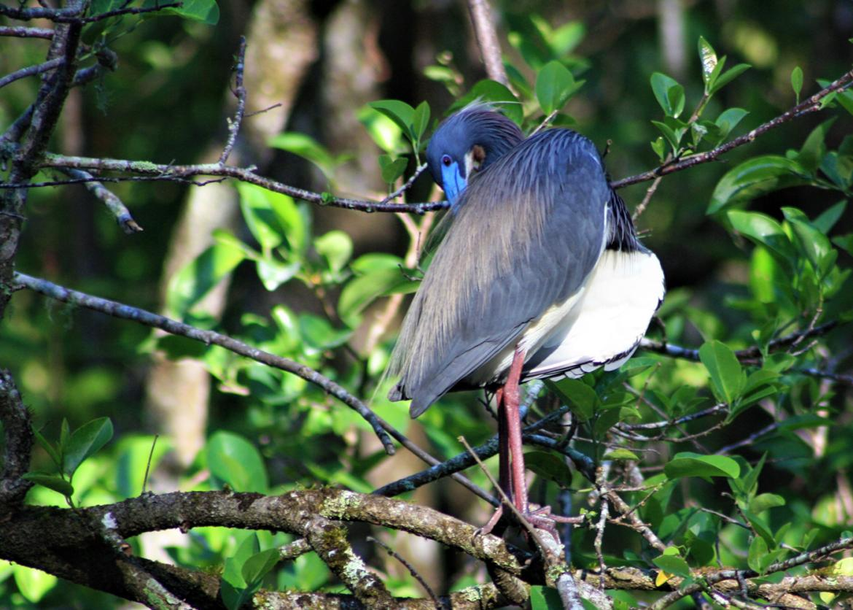 Service in Audubon's Cork Swamp Sanctuary, Florida ... on house wren house plans, purple martin house plans, pvc bluebird house plans, national wildlife bird house plans,